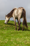 Gray Horse. Horse grazing on green maedow Royalty Free Stock Photos