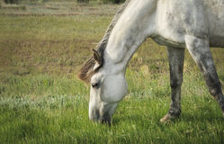 Gray horse grazing in a meadow Royalty Free Stock Images