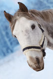 Gray horse with a head harness Royalty Free Stock Photos
