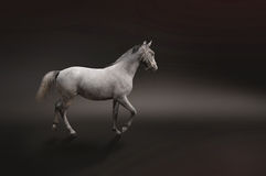Gray horse isolated on black. Photo of gray horse isolated Stock Images