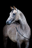 Gray horse isolated on black Stock Image