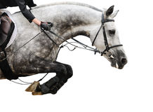 Gray horse in jumping show, on white background