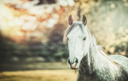 Gray horse looking at camera on autumn nature background Royalty Free Stock Image