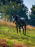 Gray horse looking at you. Beautiful gray dapple horse on a sunny slope Royalty Free Stock Image
