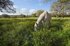 Gray horse on the meadow. In the sunny spring day Royalty Free Stock Photo