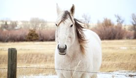 Gray Horse in the Montana Winds. Photo of a Montana horse in the winter - Front View Royalty Free Stock Image