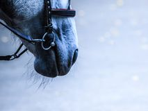 Gray horse muzzle. With a harness close-up on the side on a blurred background Stock Images
