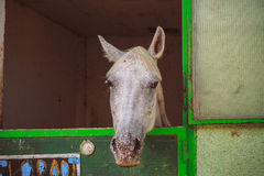 Gray horse. stock image
