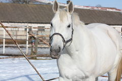 Gray horse at the paddock. Gray horse portrait in the paddock in winter Stock Photo