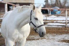 Gray horse at the paddock. Gray horse portrait in the paddock in winter Stock Photos