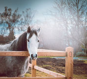 Gray horse on paddock wooden fence over spring nature background Stock Photography