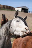 Gray Horse Playing Royalty Free Stock Photo