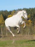 Gray horse plays Royalty Free Stock Photography
