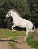 Gray horse plays Stock Photo