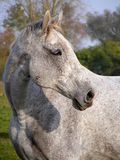 Gray horse portrait Royalty Free Stock Image