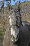 Gray horse portrait Royalty Free Stock Images
