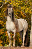 The gray horse portrait in autumn. The gray Yakut horse portrait in autumn Stock Image