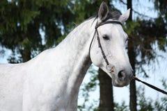 Gray horse portrait Stock Image