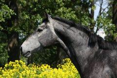 Gray horse portrait in summer Stock Photos