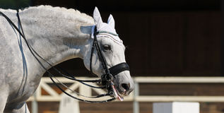 Gray horse put out Gray horse put out tongue. Dressage: Gray horse put out tongue Royalty Free Stock Photo