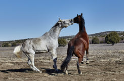 Gray Horse reaching to Bite Brown Horse Royalty Free Stock Photos