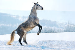Gray horse rearing on snow Royalty Free Stock Photography