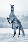 Gray horse rearing on snow Royalty Free Stock Photos