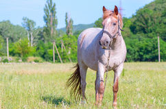Gray horse with a red fringe Royalty Free Stock Image