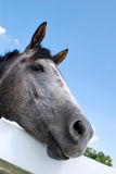 Gray Horse Resting Head. Gray and white horse rests head on white fence Royalty Free Stock Images