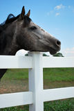 Gray Horse Resting Head on Fence. Gray horse rest's it's head on white fence Royalty Free Stock Images
