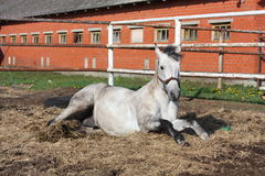 Gray horse rolling on the ground Stock Photos