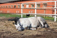 Gray horse rolling on the ground Royalty Free Stock Photo