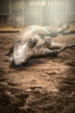 Gray horse rolling in sand of paddock Stock Photo