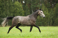 Gray horse running free at the field Royalty Free Stock Photography