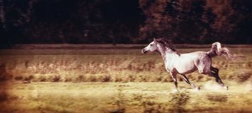 Gray horse  running gallop at autumn field Royalty Free Stock Photography