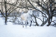 Gray horse running gallop in winter forest Stock Photos