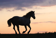 Gray horse running on hill on sunset Royalty Free Stock Photo