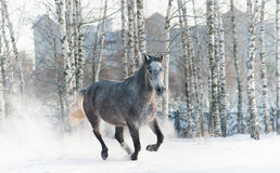 Gray horse Royalty Free Stock Photography