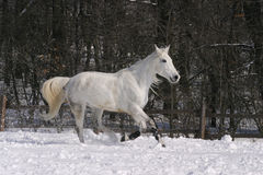 Gray horse running at wintertime Royalty Free Stock Image