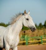 Gray horse Royalty Free Stock Image
