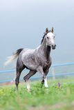 Gray horse runs in the meadow Royalty Free Stock Photography
