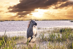 Gray horse runs on water Royalty Free Stock Image