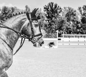 Gray horse during showjumping competition. Black and white photo. Side view head shot of a beautiful stallion. Blur green trees and hurdles as background. Copy Stock Photo