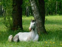 Gray horse sleeping on the green grass. Gray horse sleeping  on the green grass in summer park Royalty Free Stock Images