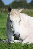 Gray horse sleeping at the pasture Stock Photography
