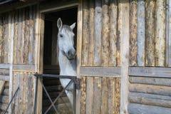 Gray Horse som kikar ut ur ett trähus Royaltyfri Bild