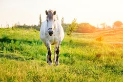 Gray horse standing in grass. In sunset light, yellow and green background stock image