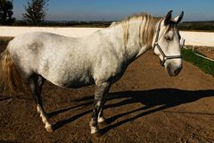 Gray horse Stock Photos
