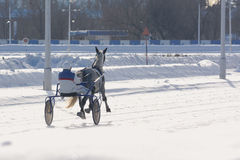Gray Horse trotter breed in motion winter. Back view royalty free stock image