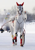 Gray horse trotter breed on the racetrack in the winter Stock Photo